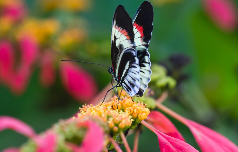 Фото обои цветок, природа, бабочка, крылья, лепестки