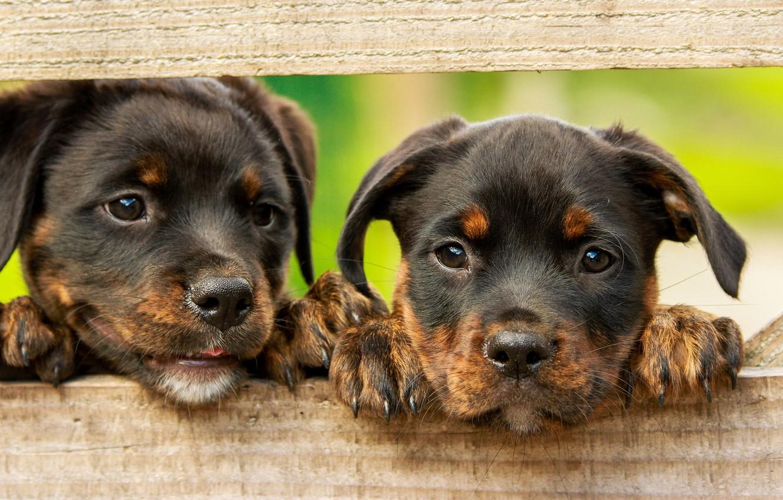 Фото обои собаки, зеленый, фон, доски, забор, лапки, щенки, щенок, малыши, парочка, коричневые, два, милашки, ротвейлер, грустные …