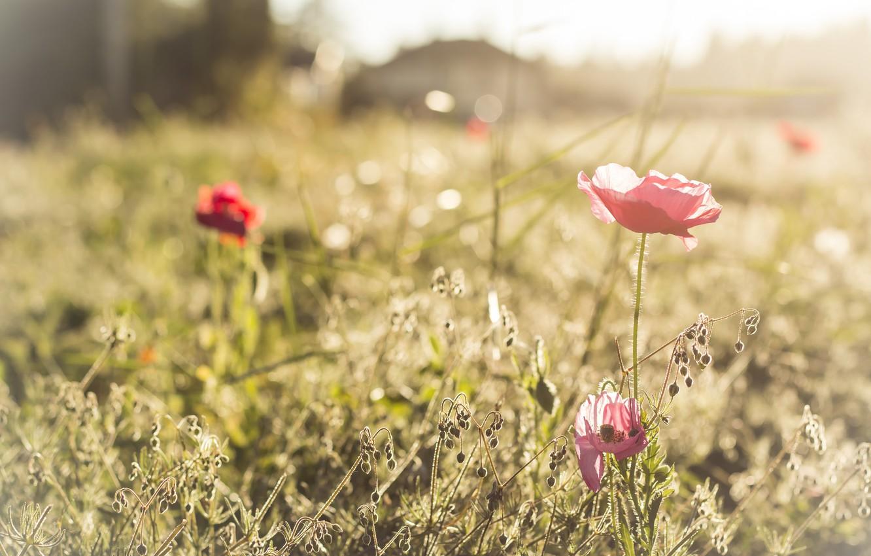 Фото обои лето, свет, маки