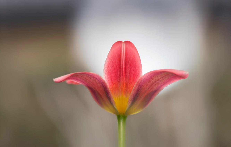 Фото обои макро, тюльпан, лепестки