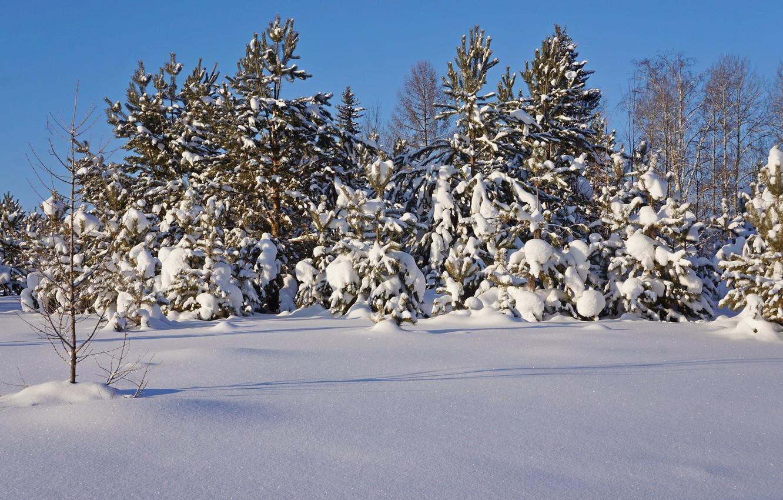 Фото обои зима, лес, снег, деревья, природа, мороз, сосны