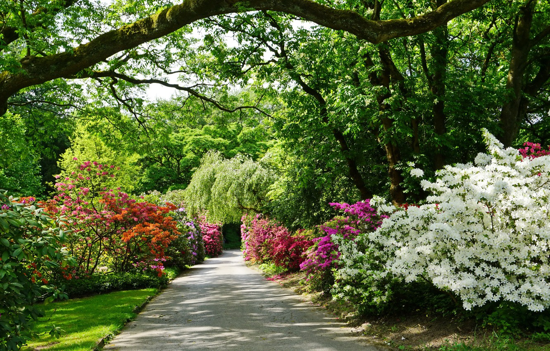 Обои рододедрон, кусты, парки. Цветы foto 6