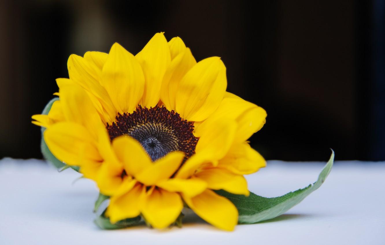 Фото обои цветок, фон, подсолнух, цветение