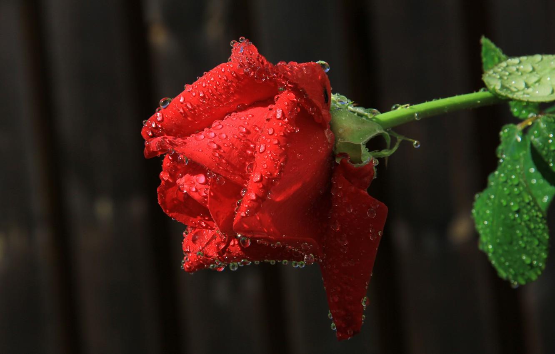 Фото обои цветок, вода, капли, роса, роза, лепестки, бутон
