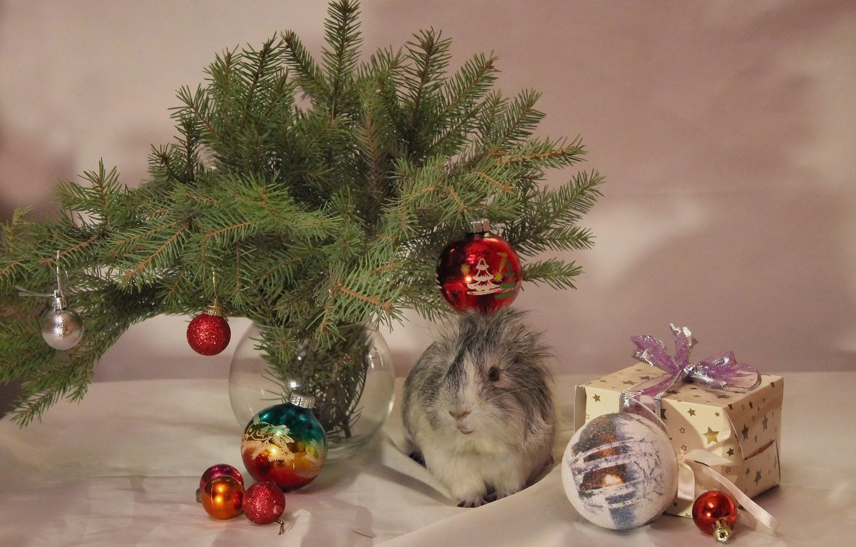 Фото обои зима, животные, украшения, елка, новый год, рождество, морская свинка, декабрь, композиция, питомцы, свинки