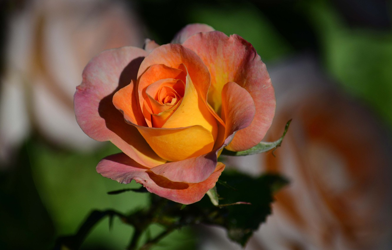 Фото обои макро, роза, лепестки, бутон, боке