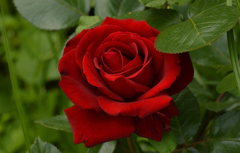 Фото обои красный, роза, красавица