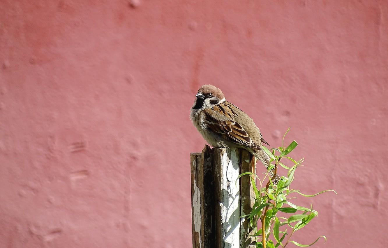 Фото обои весна, воробей, птичка