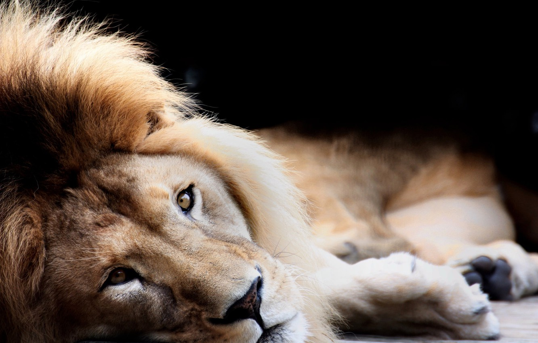 Фото обои Black, Cat, Lion, King, Eye, Lies, Siesta