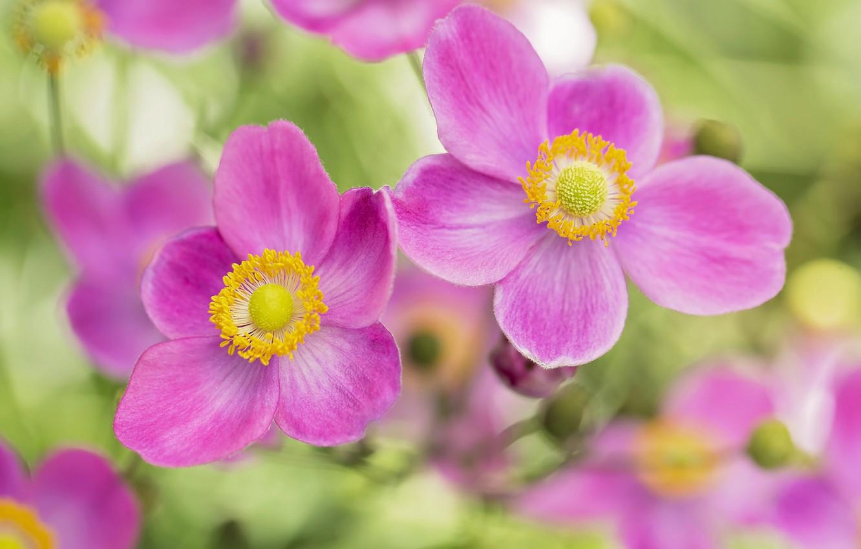 Фото обои лепестки, розовые, боке, анемоны