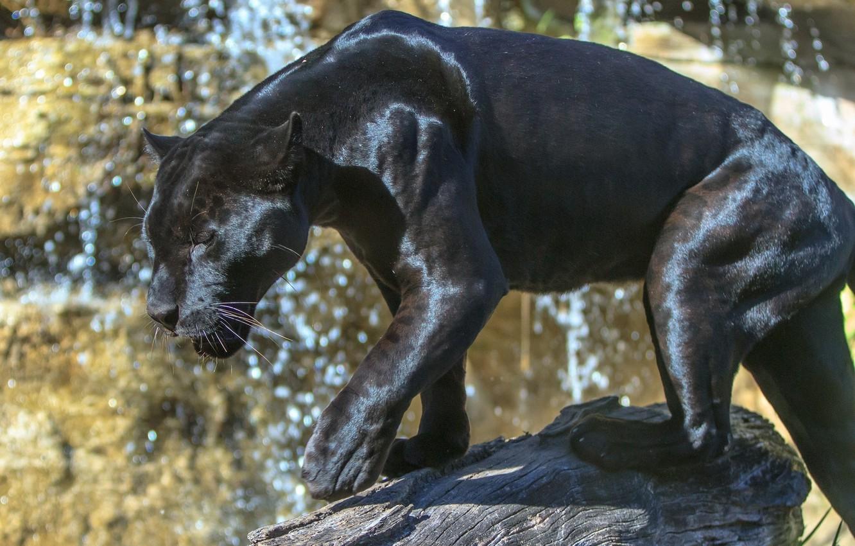 Фото обои блики, хищник, мощь, пантера, грация, дикая кошка, зоопарк, солнечный свет, чёрный ягуар