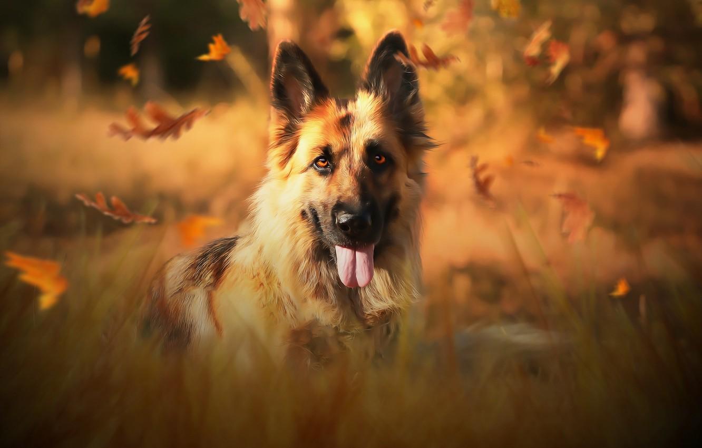 Фото обои осень, друг, собака, немецкая овчарка