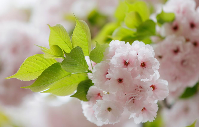 Фото обои макро, вишня, ветка, сакура, цветение, цветки