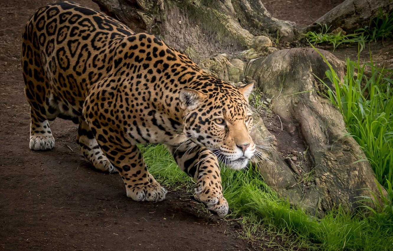 рецепт картинки диких ягуаров роспуске чаша