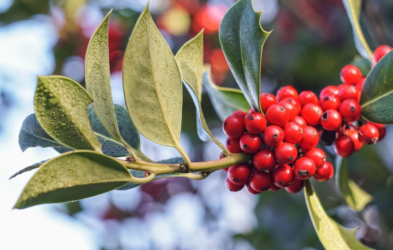Фото обои листья, природа, ягоды, Ветка