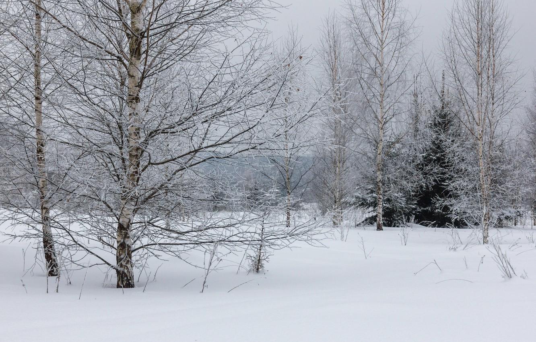 Фото обои зима, иней, лес, снег, деревья, дерево, пасмурно, береза, опушка, зимний лес