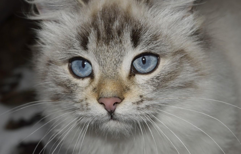 Фото обои blue, eyes, cat