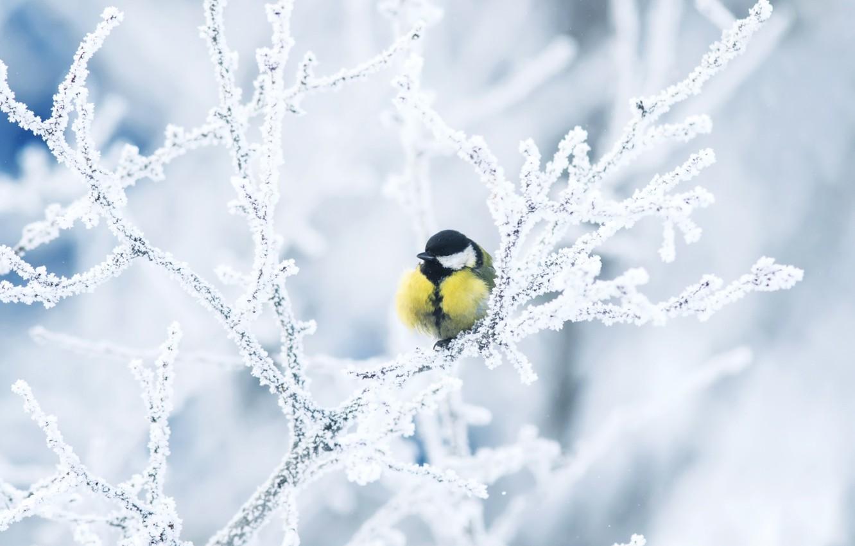 Фото обои зима, иней, ветки, птица, синица