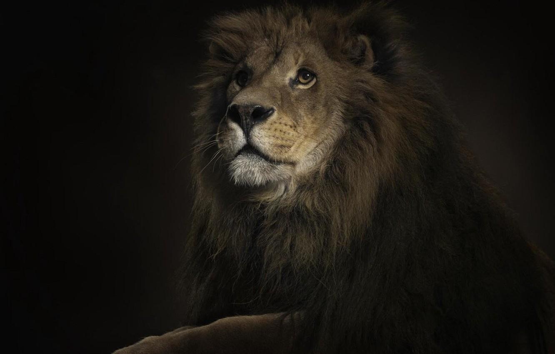 Фото обои лев, красавчик, король джунглей