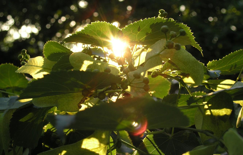 Фото обои лето, солнце, макро, закат, дерево, липа