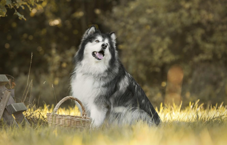 Фото обои трава, собака, корзинка, боке