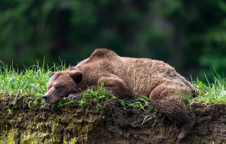 Картинки спящих медведей