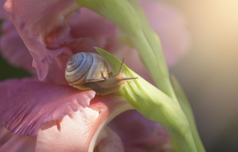 Фото обои цветок, макро, цветы, улитка, гладиолус