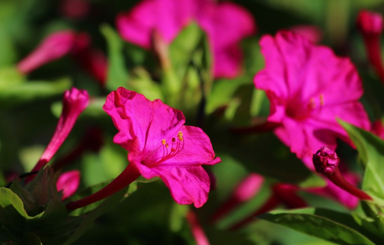 Фото обои лето, цветы, природа, красота, цветение, дача, мирабилис