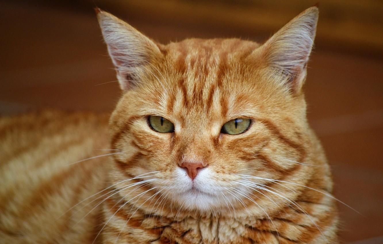 Фото обои кот, взгляд, морда, фон, портрет, рыжий, полосатый, зеленоглазый, важный