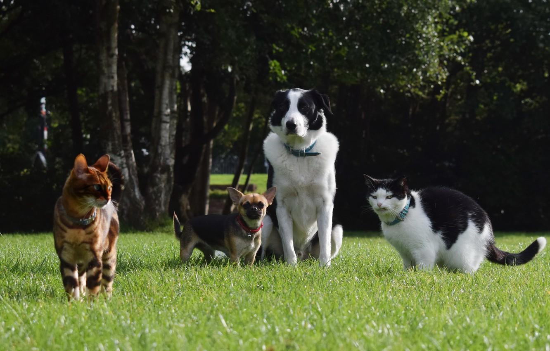 Фото обои зелень, собаки, лето, трава, деревья, кошки, парк, лужайка, домашние животные, Чихуахуа, Бордер-колли