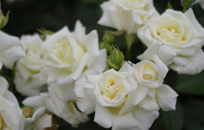 Фото обои макро, розы, лепестки, бутоны, белые розы