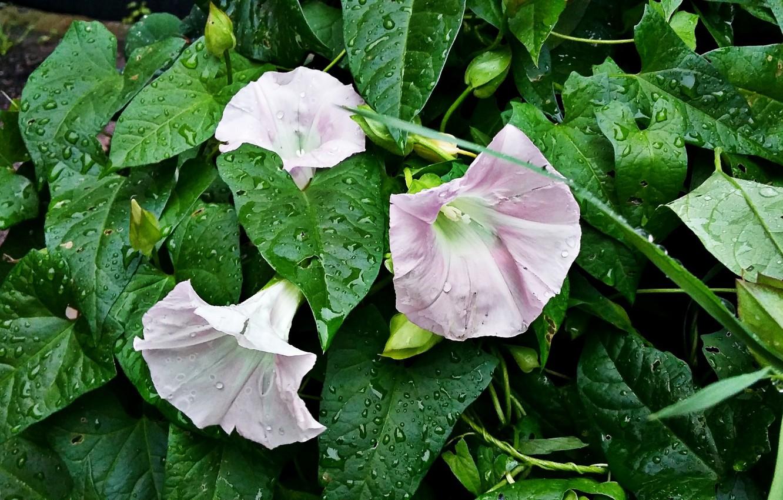 Фото обои зелень, листья, нежность, бутоны, розовые цветы, капли дождя, вьюнки