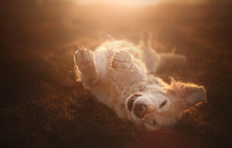 Фото обои радость, настроение, собака, лапы, боке, Голден ретривер, Золотистый ретривер