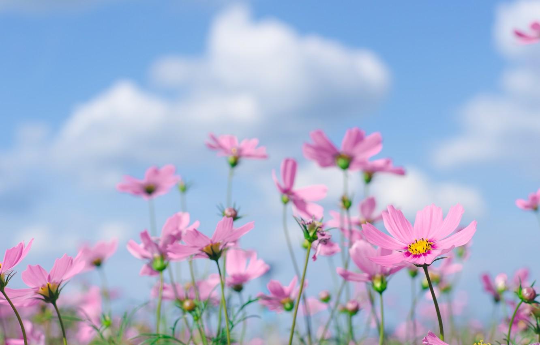 Фото обои поле, лето, небо, солнце, цветы, summer, розовые, field, pink, flowers, cosmos