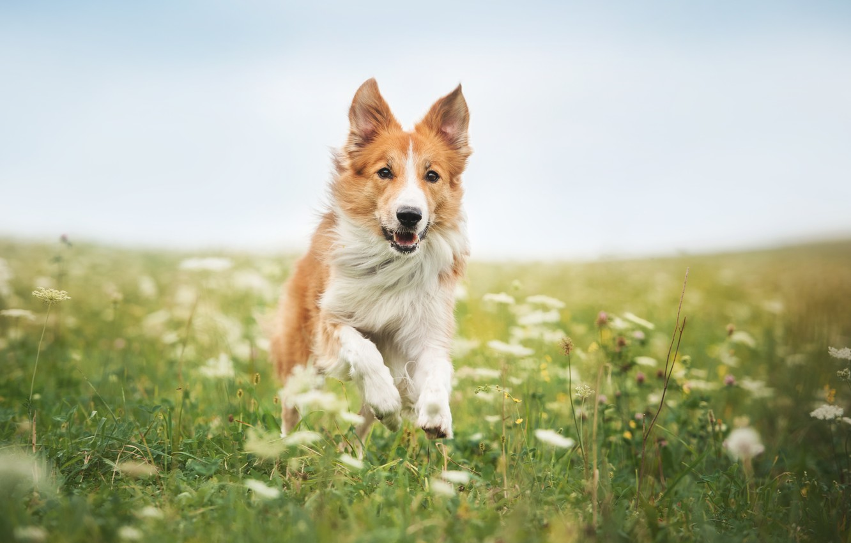 Фото обои Трава, Бег, Собаки, Животные, Бордер-Колли