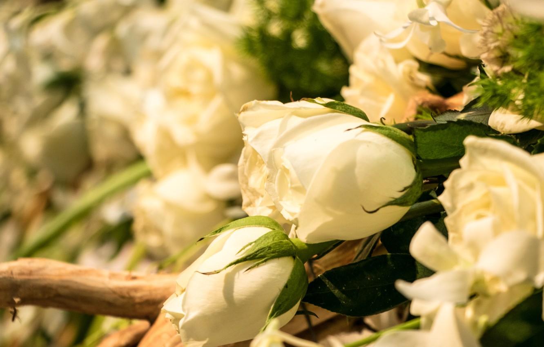 Фото обои цветы, розы, белые, бутоны