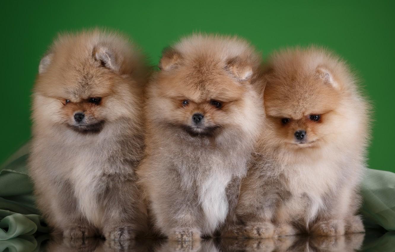 покажите фото собаки шпиц станете поклонниками