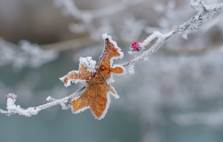 Фото обои холод, зима, макро, снег, лист, лёд, ветка, ягода, изморозь, заморозки