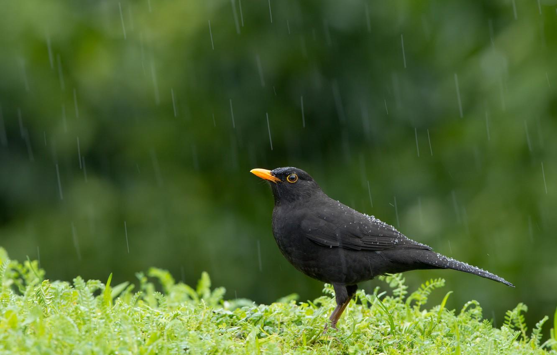 Фото обои дождь, птица, Blackbird, Turdus merula