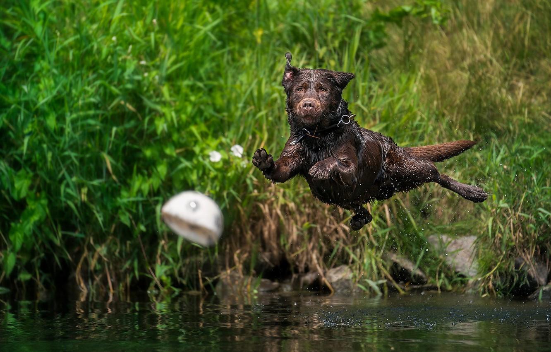 Фото обои вода, брызги, прыжок, мяч, собака, Лабрадор-ретривер