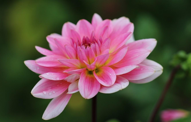 Фото обои цветок, капли, макро, розовый, георгина