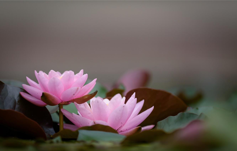 Фото обои листья, цветы, лилии, цветение
