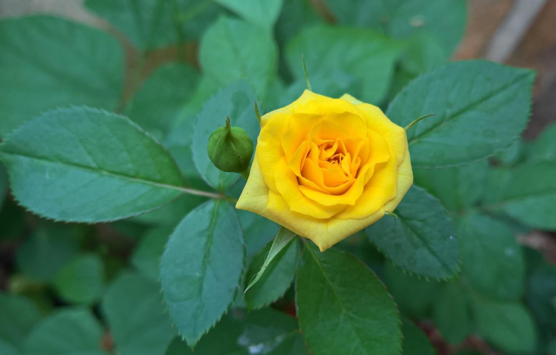 Фото обои листья, роза, куст, лепестки, бутон