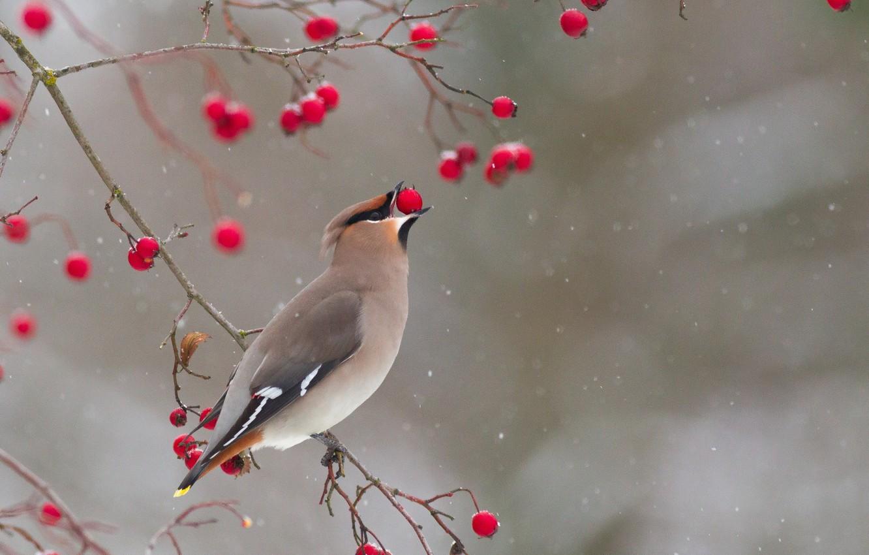 Фото обои зима, ветки, ягоды, птица, свиристель
