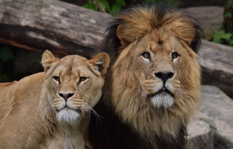 картинки львиные пары ругался ней уходил