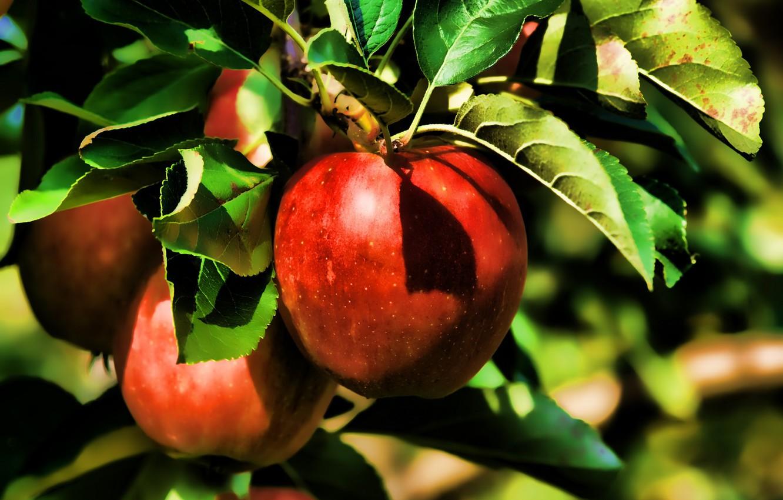 Фото обои лето, природа, яблоки