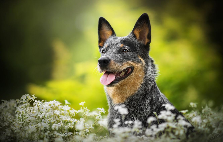 Фото обои цветы, собака, Lucy, боке, Австралийская пастушья собака