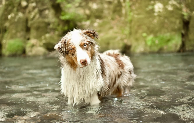 Фото обои взгляд, река, друг, собака