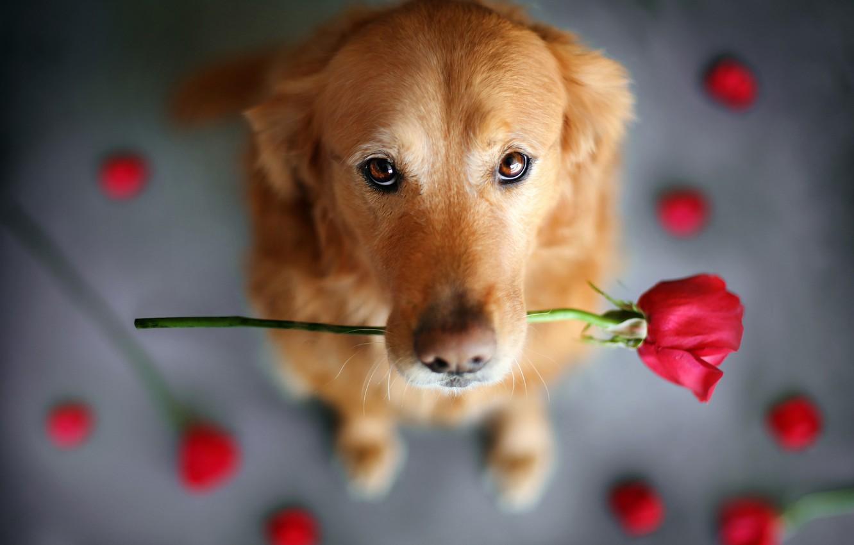 Фото обои цветок, взгляд, животное, роза, собака, пёс, ретривер