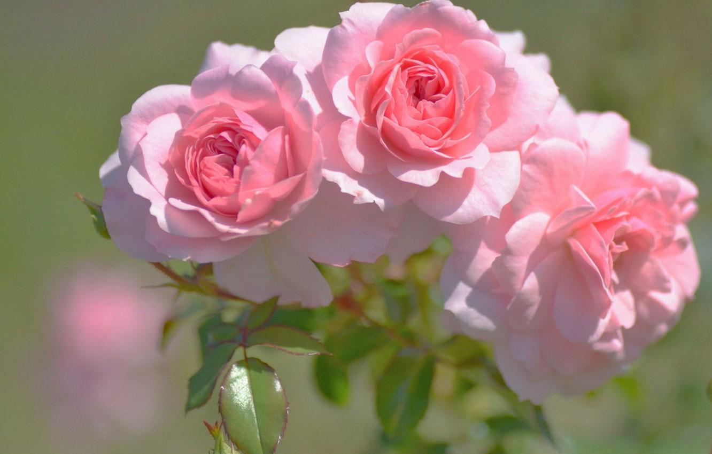 Фото обои размытый задний фон, три розы, розовые бутоны